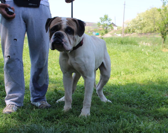CHARLIE – American Bulldog – ca. 2,5 Jahre