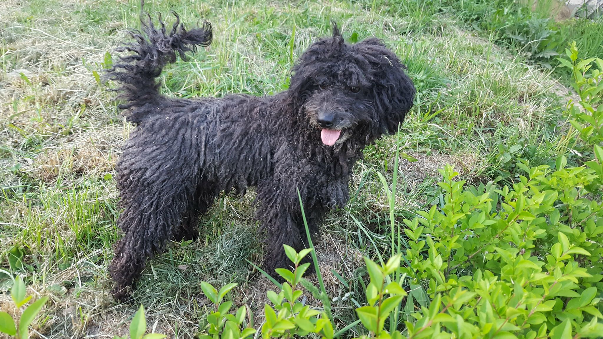 JIMMY – Pudel – ca 1 – 2 Jahre