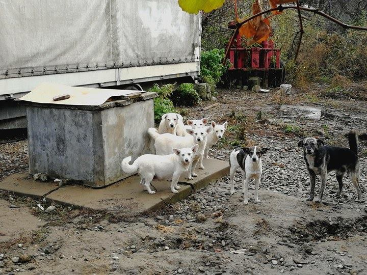 Hunde aus Nimigea