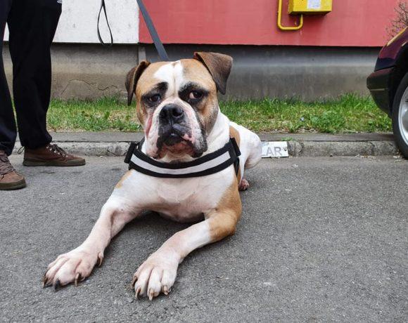 BECKY – American Bulldog – ca. 3 Jahre